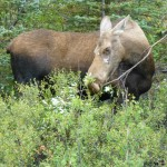 Alaskan Moose - Part of the Alaska Denali National Park cruisetour experience