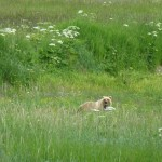 Grizzly bear - Part of the Alaska Denali National Park cruise tour experience