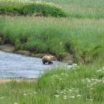 Grizzly bear - Denali National Park Alaska
