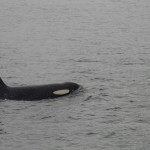 Orca Whale in Juneau - Part of the Alaska Denali National Park cruise tour experience