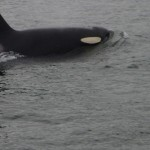 Orca Whale Exploring Juneau Alaska - Take a cruise tour and visit Denali National Park